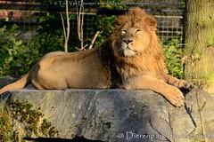Aziatische leeuw - Panthera leo persica - Asiatic lion (MrTDiddy) Tags: cat mammal persian big kat feline leo lion bigcat planckendael asiatic grote leeuw panthera persica zoogdier perzische aziatische grotekat dierenparkplanckendael