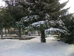 Lourdement saupoudr. (Gilbert-Nol Sfeir Mont-Liban) Tags: schnee trees winter snow alberi hiver arbres cedar neve fir neige abete inverno bume sapin liban tannenbaum conifer cdre cedro conifre montliban conifero kesserwan