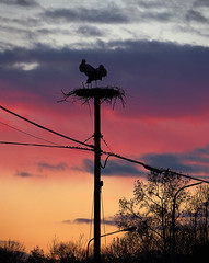 IMG_7392 sunset storks (pinktigger) Tags: sunset italy bird nature animal silhouette italia outdoor stork cegonha cigea friuli storch ooievaar fagagna cicogne cicogna oasideiquadris feagne nest11bis