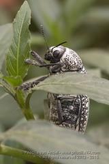 319A1175 Sulphurous jewel beetle, Julodis euphratica? Dubai (Priscilla van Andel (Uploading database)) Tags: uae jewelbeetle julodiseuphratica buprestidaefamily sulphurousjewelbeetle matingjewelbeetles coleopteraoftheuae