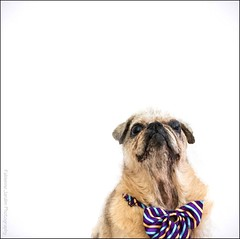 Look up! 51/52 - in the air (fabiennej) Tags: dog white photomanipulation pug slide whitebackground sliderssunday topazimpression