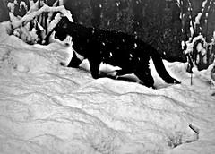 E' arrivata la neve... (civetta delle nevi) Tags: neve inverno gatto giardino fiocchi