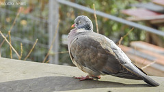 Sleepy Pigeon (Studio Skwit) Tags: bird birds photoshop studio photography google flickr zoom pigeon pussy vogels p900 steven vogel facebook telezoom duif vliegen twitter vogelen tumblr flynikon pinterest skwit studioskwit nikonp900 stevensquidsquid