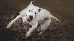 (Katarina Drezga) Tags: pets dogs animals happiness perro perros pas dogphotography petphotography dogoargentino nikond3100 nikkor55300mm4556gvr