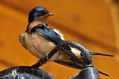 barn swallow (wimvandemeerendonk, off to Iceland. back in septem) Tags: blue wild orange canada color colour bird colors birds barn contrast outdoors colours bright outdoor britishcolumbia wildlife sony swallow birdwatcher emeraldlake telelens yohonationalpark 7599faves abigfave minoltaapo200 wimvandem