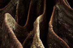 fig ures (brinypickle2012) Tags: moretonbayfig norfolkisland tree bark roots curves