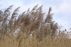 Schilfrohr (AvesAg) Tags: sky brown berlin reed grass zoo himmel braun perennial schilf schilfrohr mehrjhrig