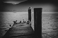 Die Ruderer (Fotos4RR) Tags: seagulls lake austria see sterreich seagull rowing mwe mwen obersterreich vogel mondsee steg rowers berth rudern upperaustria bootssteg ruderer