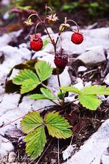 Wild strawberries (cony.wiedenig) Tags: nature fruits natur strawberries wildstrawberries erdbeeren frchte walderdbeeren conywiedenig