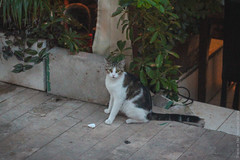 Cat in Antalya