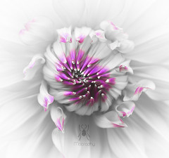 Protect (Macrophy (Grant Beedie)) Tags: dahlia blue newzealand christchurch white flower macro beautiful gardens closeup petals amazing fantastic pretty heaven purple gorgeous fineart dream wallart canterbury symmetry glorious zealand nz dreams dreamy dreamlike angelic heavenly beedie macrophy