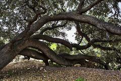 Derribado, pero no vencido (Juan Pedro Gmez-51) Tags: naturaleza tree nature landscape quercus symbol paisaje rbol metaphor conceptualismo metfora holmoak encina smbolo conceptualism coscoja carrasca rurallandscape ruralscape