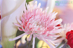 Frail (Proper Photography) Tags: pink flowers red flower beautiful beauty canon 50mm colorful pretty bright lovely delicate pure fragile dainty noble frail 50mm18 canoncamera 50mmlens properphotography canon7d