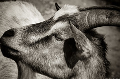 the Goat - Side portrait (PKub) Tags: bw pets white black colors animals photography tiere photo image picture goat ziege bild weiss schwarz farben haustiere 2015 nikond5100 pkub pkubimages pkubimagesgmailcom