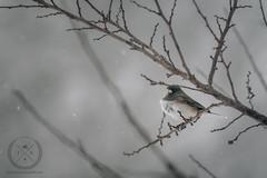 January 23, 2016-JDS_2593-web (Jon Schusteritsch) Tags: winter snow ny storm cold tree bird li backyard nikon dof bokeh junco birding snowstorm january longisland d750 snowing jonas blizzard northfork winterstorm darkeyedjunco 2016 nofo tc17 nikkor70200mmf28vr jschusteritsch northforker jonschusteritsch