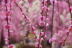 -1 (nobuflickr) Tags: flower nature japan kyoto    japaneseapricot   mume prunusmume    prunusmumeformpendula jounanguushrine 20160226dsc00130