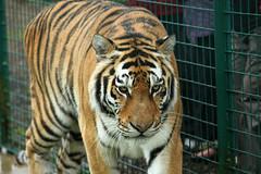 Tigers Sumatran - Puna Nias 10 (Artemis1947) Tags: tigers bigcats infocus forprinting highquality whf sumatrontigers tigersumartranpunanias wildlifeheritagefoundation692011 whfheadcornkent