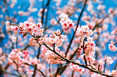@ () Tags: park travel pink flowers trees light sky white plant flower macro tree castle nature japan garden cherry 50mm spring fuji blossom bokeh blossoms taiwan grlitz 200 m42 zebra  cherryblossom  sakura fujifilm cherryblossoms f18  fujica st705 fujicast705  cherrytree cherrytrees   50mmf18    cherryblossomfestival    filmphotography    rossmann oreston  gorlitz meyeroptik   meyeroptikgrlitzoreston50mmf18 rossmann200   meyeroptikgorlitzoreston50mmf18zebra meyeroptikgrlitzoreston50mmf18zebra
