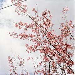 Cherry blossoms (Khnh Hmoong) Tags: pink flower film mediumformat cherry spring blossom sakura 120mm yashicamat124g kodakportra160