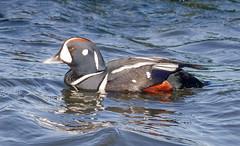 Male Harlequin Duck (tresed47) Tags: birds us newjersey ducks content places folder takenby 2016 harlequinduck peterscamera petersphotos canon7d 201602feb 20160202newjerseybirds barnegatlightsp