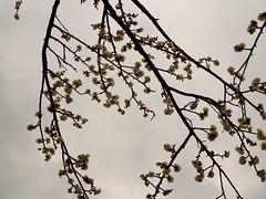 P2063777 (hiroki.yano) Tags: japanese apricot