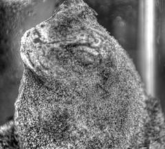 Frog on moss (SureshJ) Tags: moss amphibian photomatix