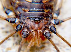Itty Bitty Beady Eyes (DarkOnus) Tags: macro closeup daddy lumix march eyes pennsylvania arachnid panasonic buckscounty beady harvestmen bitty itty opiliones eyesofmarch longlegger dmcfz35