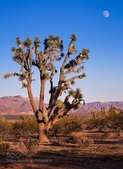 Sun set. Moon rise. Joshua tree forest. (hmbautista) Tags: sunset arizona usa moon tree nature landscape j solitude alone loneliness desert joshua single lonely minimalism solitary minimalist oshua