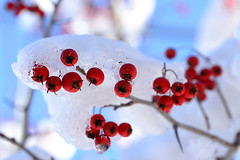 Looking for a little color in the winter landscape. (WilliamND4) Tags: winter red snow macro nikon berries d610 tokina100mmf28atxprod tokina100mmf28lens nikond610