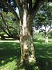 starr-091104-9056-Castanospermum_australe-trunk_and_bark-Kahanu_Gardens_NTBG_Kaeleku_Hana-Maui (Starr Environmental) Tags: castanospermumaustrale