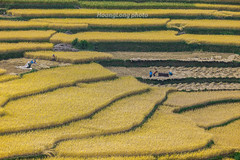 K3587.1012.Nm Dn.Xn Mn.H Giang (hoanglongphoto) Tags: people color canon landscape asian asia outdoor terraces harvest vietnam colorimage vitnam phongcnh mu agriculturalist hgiang vietnamlandscape ngoitri tybc phongcnhvitnam canoneos1dsmarkiii conngi chu vietnamnorth ngnam magt rungbcthang cnhquan xnmn lachn nhmu nmdn ngilmrung canonzoomlensef70200mmf28lisiiusm nginngdn peoplereapers ngigtla phongcnhhgiang phongcnhxnmn