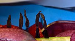Paisaje con cipreses (y un tulipn) - Landscape with cypresses (and a tulip). (Eva Ceprin) Tags: plants naturaleza flower nature landscape petals plantas flor paisaje tulip imagination cypresses tulipn cipreses ptalos imaginacin nikond3100 tamron18270mmf3563diiivcpzd evaceprin