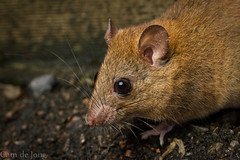 Fawn-footed Melomys (Cameron de Jong) Tags: macro rodent rat rainforest native paluma muridae melomys