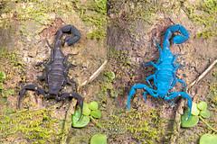 Scorpion (Tityus sp.) - Tityus_DSC_3389 (nickybay) Tags: macro scorpion ultraviolet fluorescence buthidae tityus scorpiones