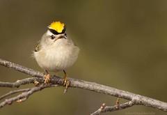 frowning Kinglet (martinaschneider) Tags: cambridge bird riversidepark goldencrownedkinglet