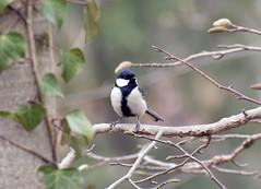 Great tit (ogawa san) Tags: bird japan outdoor kanagawa sfc greattit fujisawa wildbird keiouniversity シジュウカラ