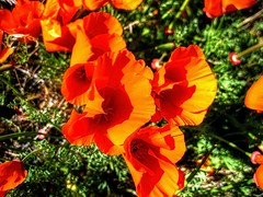 California Poppies (Joe Lach) Tags: california flowers orange antelopevalley californiastatepark californiapoppies eschscholziacalifornica californiastateflower copadeoro flameflower laamapola statenaturalreserve californiastatepoppyreserve joelach