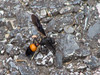 Sphaeropthalma pensylvanica scaeva - Velvet ant wasp (treichard) Tags: animals unitedstates maryland insects places northamerica species princegeorgescounty phylumarthropoda familymutillidae classinsecta orderhymenoptera speciesanimals beesantsandwasps speciesantsbeesandwasps wbatrailglenndale sphaeropthalmapensylvanica sphaeropthalmapensylvanicascaeva velvetantwasps