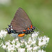 Great purple hairstreak - like a unicorn