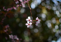 Blossom Bokeh (done by deb) Tags: flowers bokeh floweringtrees floweringplum