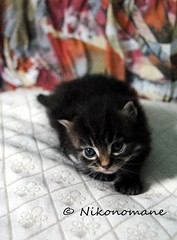 Lucifero (1) (Nikonomane) Tags: black cute cat lucifer kitten blu kitty evil gato piccolo gatto nero pelo diavolo gattino teufel lucifero lungo