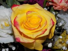 Rosa Amarilla (Matias Ezequiel Pascualini) Tags: flowers naturaleza planta argentina rose nikon flor airelibre mimamorflowers rosaamarillaconbordesrojos