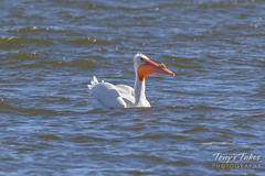 American White Pelican fishing sequence - 19 of 20