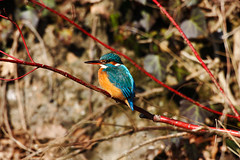 eurasian kingfisher-016 (swissnature3) Tags: nature birds animals wildlife kingfisher eisvogel