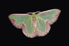 Colombia moth sp. 022; Geometridae, Geometrinae, Synchlora sp. male (S Whitebread) Tags: colombia moth lepidoptera geometridae santamarta synchlora geometrinae
