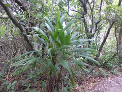 Cordyline petiolaris on Cape Byron (tanetahi) Tags: panorama beach landscape coast rainforest view nsw newsouthwales seashore byronbay headland cordyline littoral capebyron cordylinepetiolaris northernriversregion
