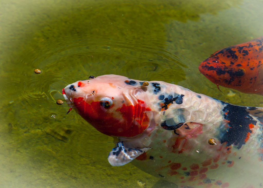 The world 39 s best photos of fish and nishikigoi flickr for Nishikigoi koi