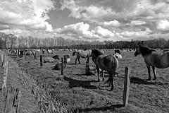 Wild Horses in black-and-white - Herd - 2016-016_Web (berni.radke) Tags: horse pony herd nordrheinwestfalen colt wildhorses foal fohlen croy herde dlmen feralhorses wildpferdebahn merfelderbruch merfeld przewalskipferd wildpferde dlmenerwildpferd equusferus dlmenerpferd dlmenpony herzogvoncroy wildhorsetrack