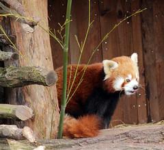 Panda roux (eminorah) Tags: panda rhodes parc bambou roux mammifère saintecroix animalier pandaroux tirelalangue taquin parcanimalier