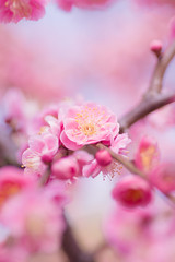 (Kumiko) Tags: pink flower japan kyoto pentax plum